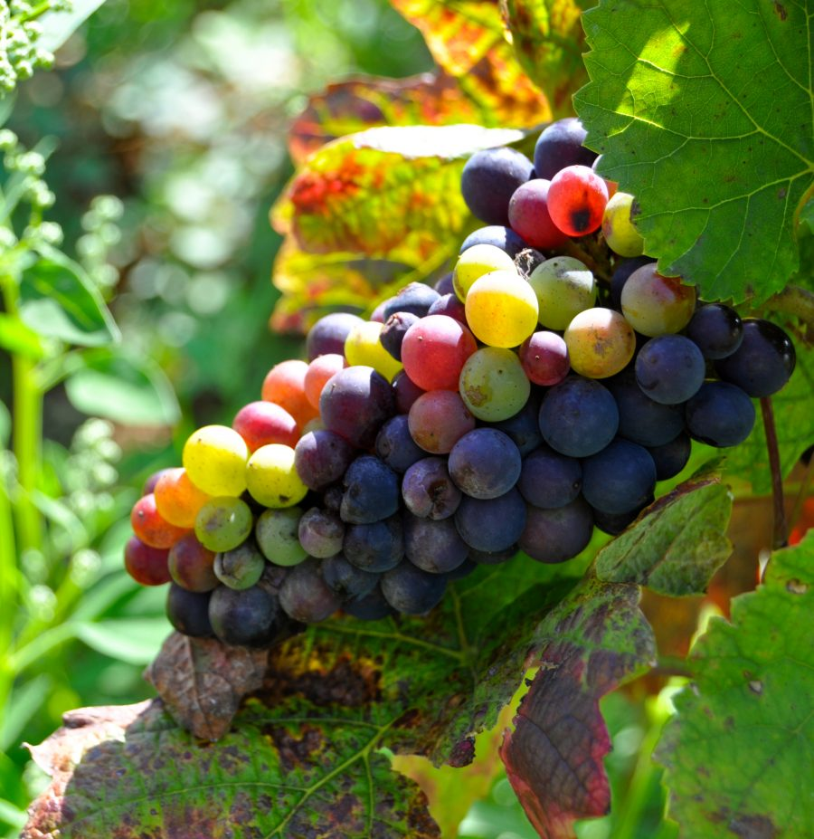 Grapes in Burgundy by Mardi Michels